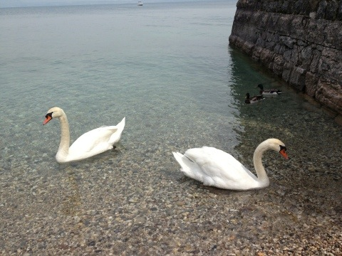 swans in Lake Garda